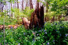Stump and Bluebells