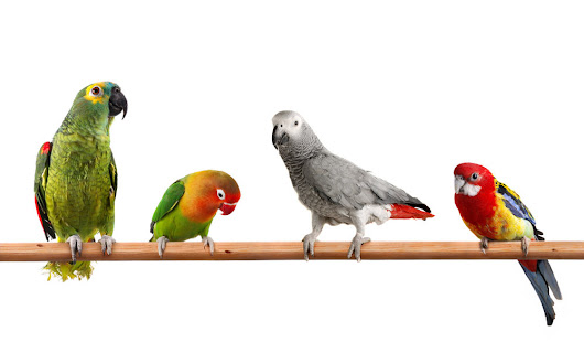 What Type of Parrot is Right for Me?