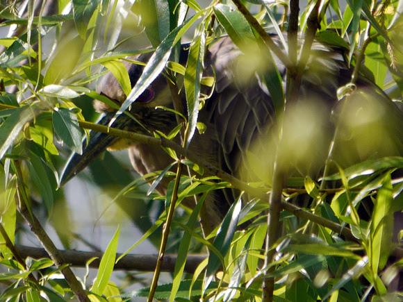 Ed Gaillard: birds &emdash; Yellow-Crowned Night Heron, Central Park