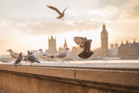 Free Images : nature, bird, wing, morning, wall, seabird, wildlife, gull, blurred, fauna, big ben, birds, london, pigeons, background, animals, seagulls, abbey, westminster, riverside, doves 4227x2818 - - 883483 - Free stock photos - PxHere