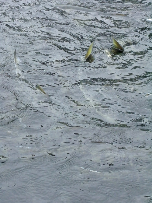 salmon near the water surface at DIPAC hatchery, Juneau, Alaska