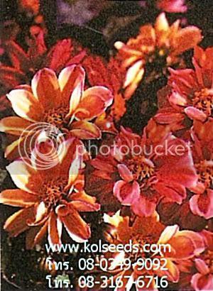 ดอกเทียนไทย หลากสี