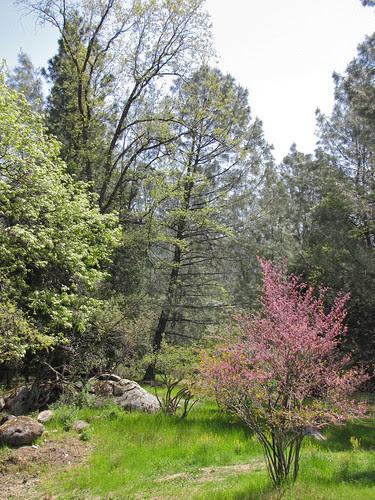 redbud & oaks