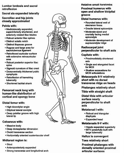 Algunos de los sinapomorfias humanos peresent en Australopithecus