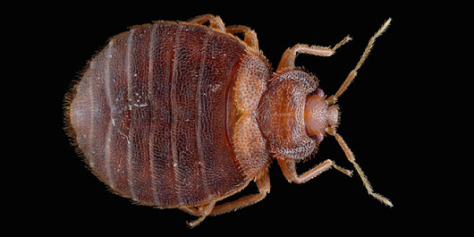 Bed Bugs Won't Give You Chagas Disease (probably) | WIRED