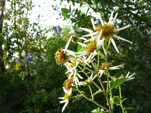 Montanoa grandiflora
