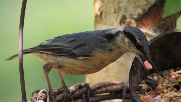 Semillas ideales para pájaros domésticos