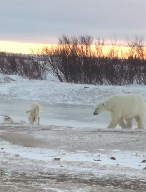 Un oso polar encuentra a 2 perros atados, cuando se acerca a sus «presas» todos temen lo peor