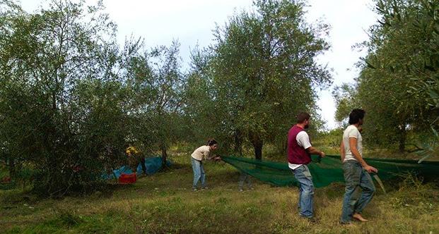 mondeggi olivi 621