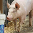 1st death linked to new swine flu is Ohioan