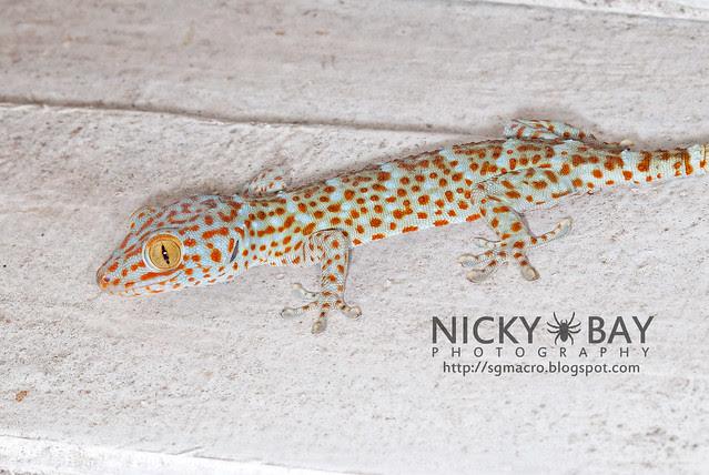 Tokay Gecko (Gekko gecko) - DSC_4561