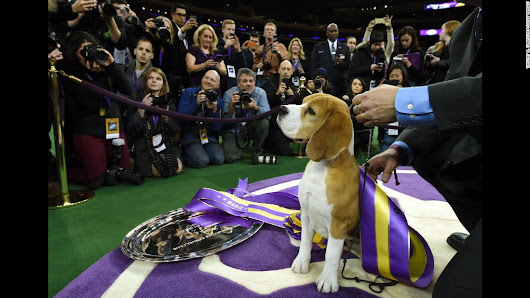 Miss P, a 15-inch beagle, wins top prize at Westminster Dog Show