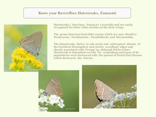 Better Know Your Butterfly: Hairstreaks, Satyrium sp