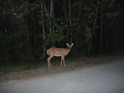 deer near Fredericton