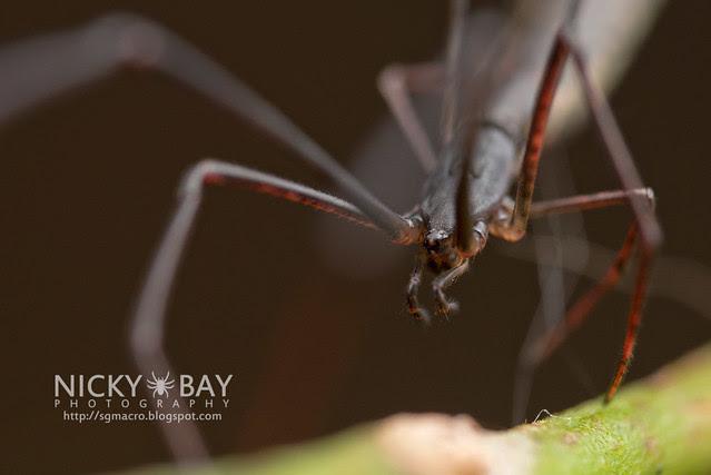 Twig Spider (Ariamnes sp.) - DSC_1945