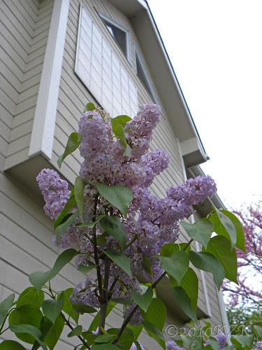 DSCN4824 Lilacs
