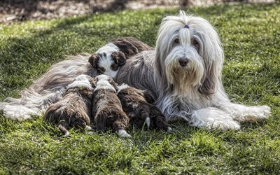 Download wallpapers Bearded Collie, puppies, fluffy dogs, pets, grass, dogs, family for desktop free. Pictures for desktop free