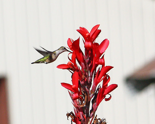 Hummingbird by the cannas