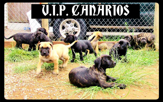 Purebred Presa Canario Puppes. Registeration and Health Guarantee. 8 weeks old. Abbotsford,  Fraser Valley