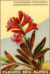 fleurs alpes 1
