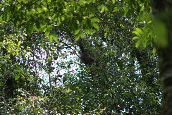 Lutung at Gn Halimun Salak National Park © Henry Adam