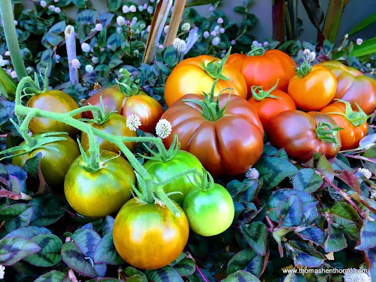 Best Tomatoes to Grow in Marin County | Marin Tomato Tips & Advice