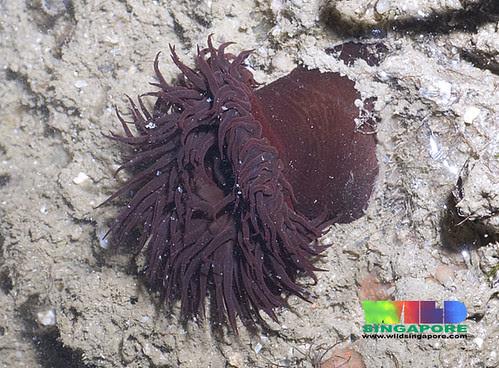 Burgundy anemone (Bunodosoma goanensis)