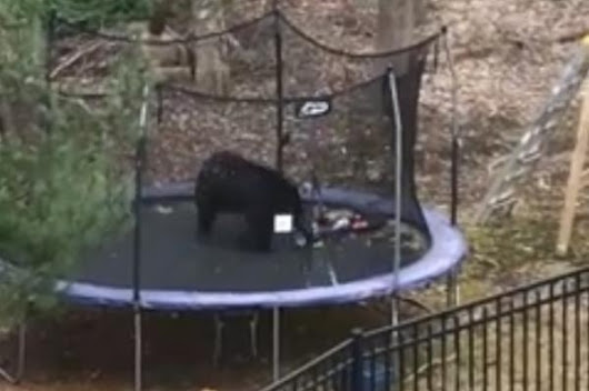 Bear bounces on trampoline in Connecticut back yard
