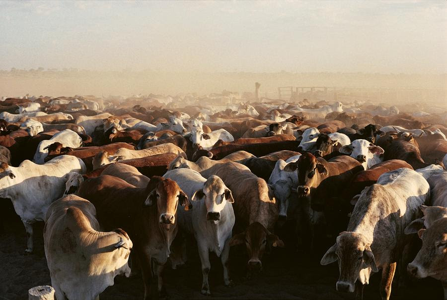 http://images.fineartamerica.com/images-medium-large/brahman-cattle-are-herded-into-a-pen-medford-taylor.jpg