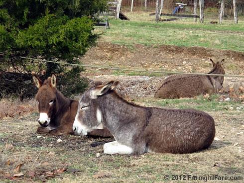 Donkey hangovers 2 - FarmgirlFare.com