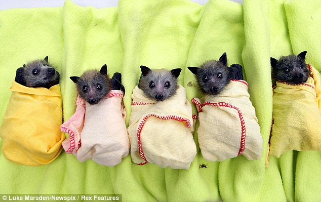 Baby bats at the Bat Clinic in Advancetown, which has helped at least 130 baby bats after the wet weather
