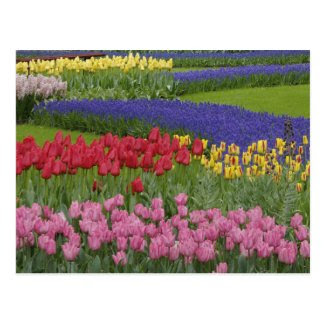 Garden of tulips, Grape Hyacinth and Post Cards