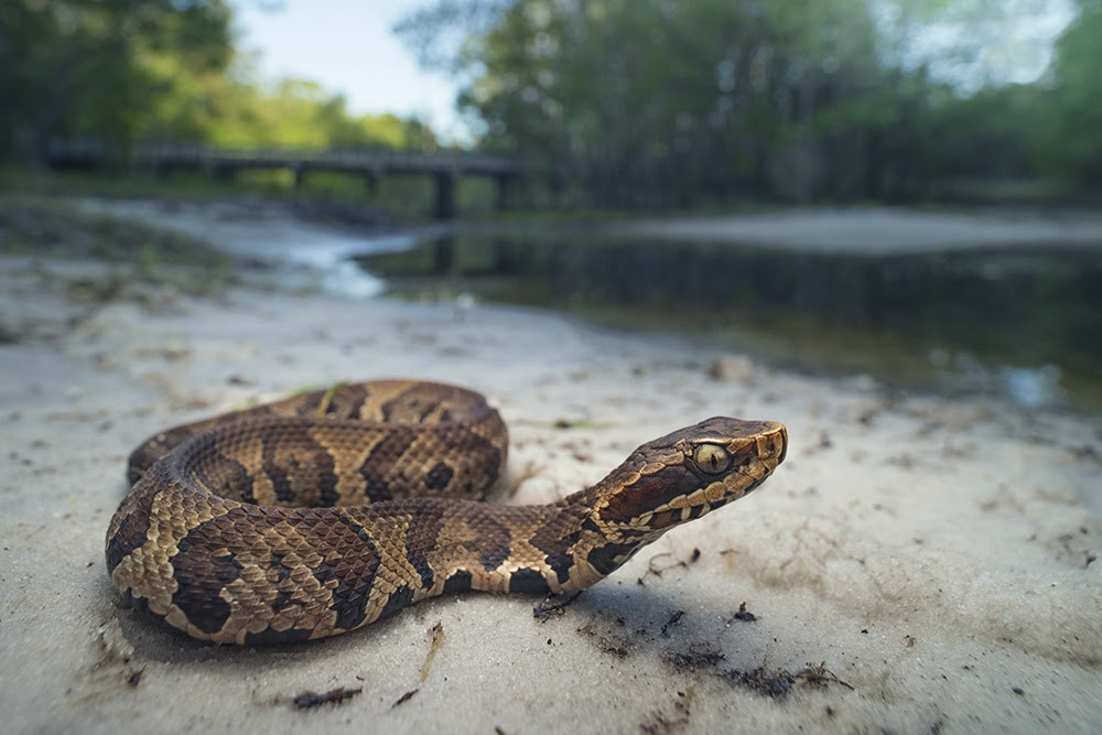 The Cottonmouth Snake Everything You Need To Know