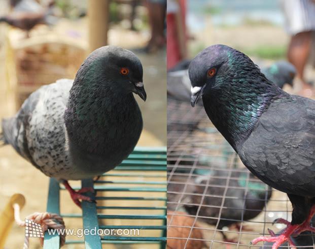 Unduh 860+  Gambar Burung Merpati Adu  Paling Unik Gratis