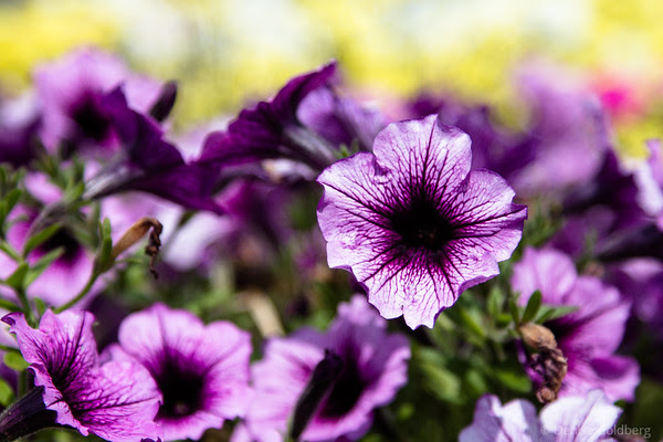 pansies in purple and white