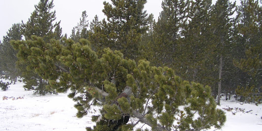 Where to cut down your own Christmas tree in Colorado.