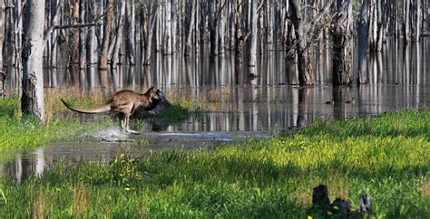Animals   Murray Darling Basin Authority