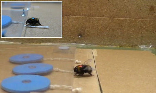 Brainy bees learn to pull strings to get food