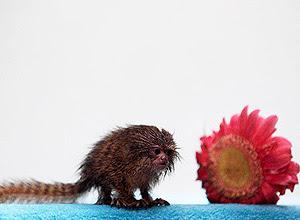 Sagui pigmeu, menor primata do mundo, foi encontrado na roupa de um peruano