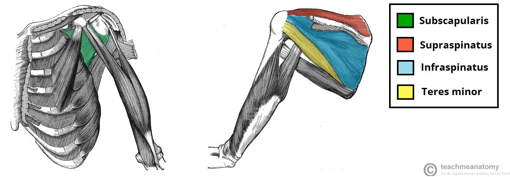 The Intrinsic Muscles of the Shoulder - TeachMeAnatomy
