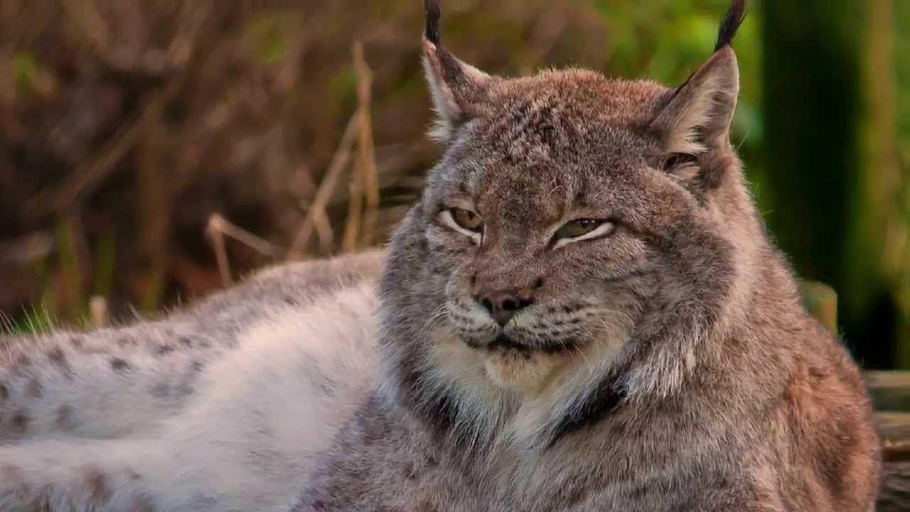WILD CATS MULTILINE (ДИКИЕ КОШКИ МУЛЬТИЛИНИИ) — ИГРОВОЙ АВТОМАТ, ИГРАТЬ В СЛОТ БЕСПЛАТНО, БЕЗ РЕГИСТ