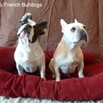 Benny and Lily - Two French Bulldogs