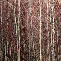winter-thicket