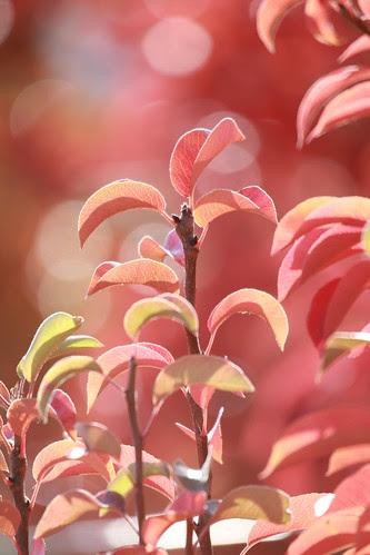 pear-tree-leaves por JeremyOK