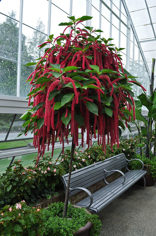 Conservatory - Rose House - Acalypha hispida