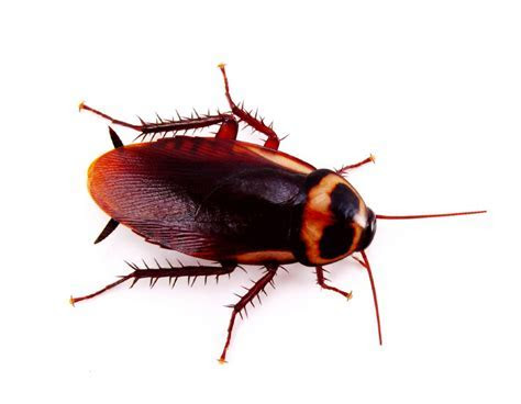 Cockroach   Control   Problem   Leeds   York   Wakefield   Selby   Yorkshire   MJ Backhouse