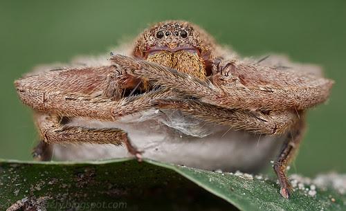 huntsman spider with egg sac IMG_6143 stk copy