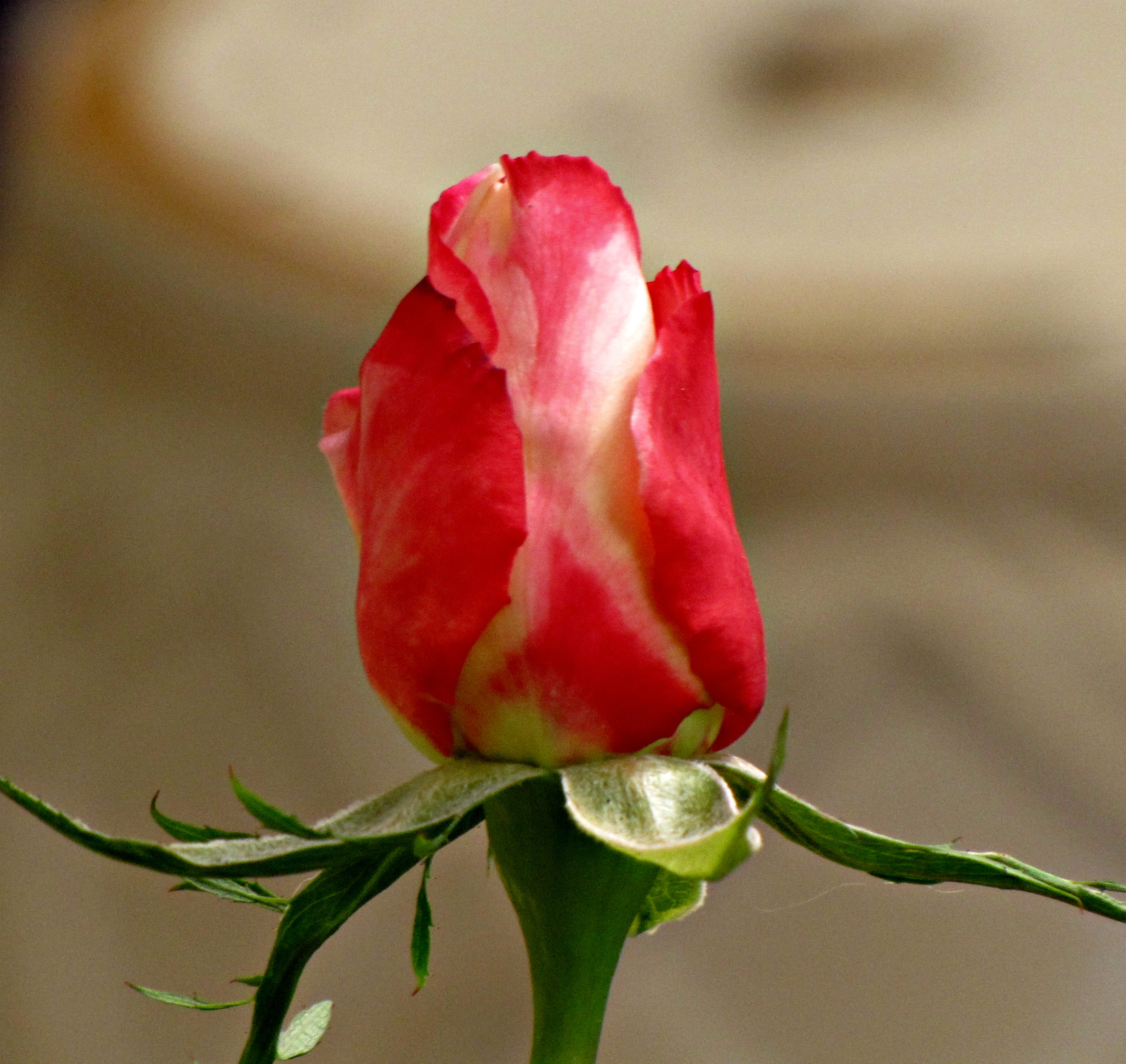 Double Delight Rosebud