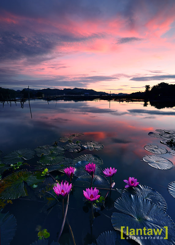 Lotus Blooms at Sunrise in Lake Sebu