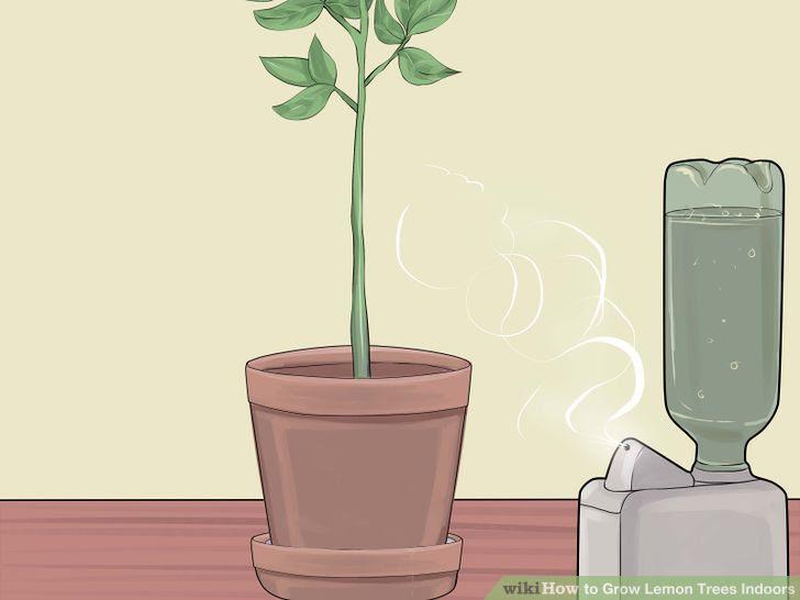 Grow Lemon Trees Indoors Step 14 Version 2.jpg
